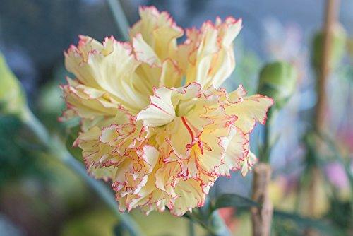 Nelke Gelb Riesen Chabaud 30 Samen-, Carnation, Dianthus Samen,gefüllte,duftend