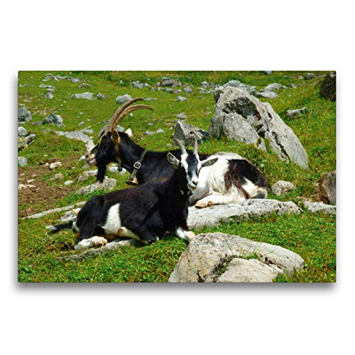 CALVENDO Premium Textil-Leinwand 75 cm x 50 cm Transversal, Cabras en los Alpes suizos, Imagen sobre Bastidor, Fertigbild en verdadera Lienzo, Leinwanddruck: Montañas Animales Animales