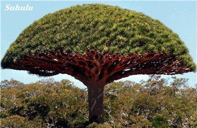 Dracaena arbre Graines, Arbre de sang (Dracaena draco), Graines rares Showy géant Fleur de cerisier Bonsai Jardin en pot Plantes 10 Pcs 10