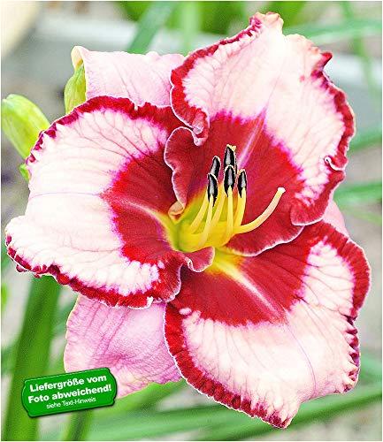 BALDUR-Garten Taglilie