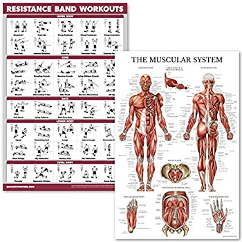 QuickFit Resistance Bands Workouts and Muscular System Anatomy Poster Set - Laminated 2 Chart Set - Resistance Tube Exercise Routine & Muscle Anatomy Diagram  18  x 27    Laminated 18  x 27
