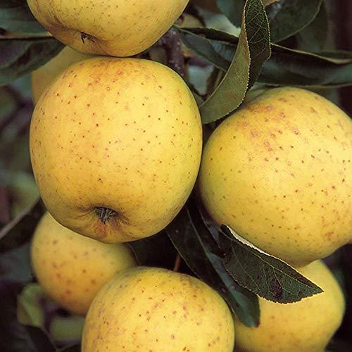 YouGarden Apple Golden Delicious Tree, 5 Litre Pot