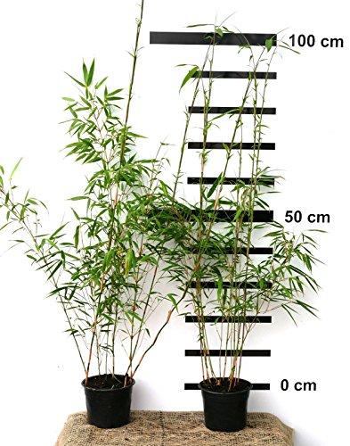 2 x Bambus Fargesia rufa winterhart und schnell-wachsend, 70-90 cm hoch