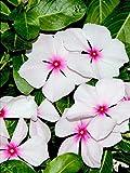 100 BRIGHT EYES PERIWINKLE Vinca Rosea Dwarf White & Pink Flower Seeds