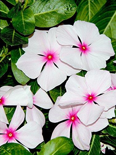 100 Bright Eyes pervenche Vinca Rosea Nain Blanc et Rose Fleur Graines