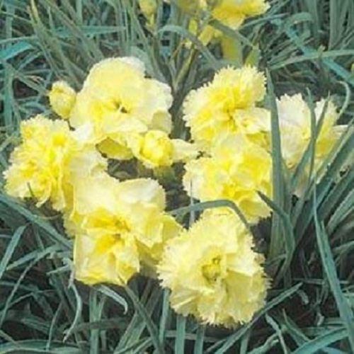 50 Samen Nelke gelbe Samen Nursery Samen Blumensamen