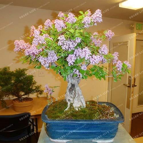 50pcs Weißer Flieder Bonsai (Extremely Fragrant) Nelke Blume Syzygium Aromaticum Bonsai für Heim & Garten: 3