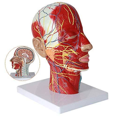 WEHOLY Bildungsmodell Anatomisches Modell des menschlichen Kopfes mit Gefäßen Gefäßnervenmodell - Medizinisches anatomisches Gehirnmodell mit Gefäßen - für medizinische Ausbildungshilfen, Laborgeräte