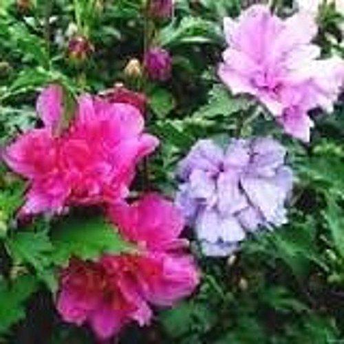 PLAT FIRM GRAINES DE GERMINATION: 20 graines Rose Ein Sharon Bush Doppel Althea Farbe Rosa Lila Fuchsia