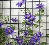 2 x Clematis The President - Set di 2 piante rampicanti e durature invernali, micrati, piante rampicanti pluriennali