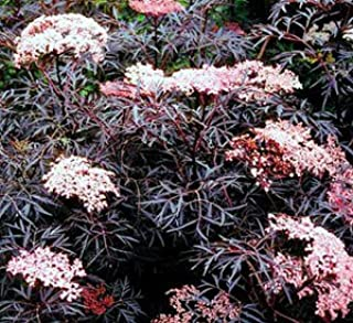 Black Lace Elderberry - Dark maroon Nearly Black Lacy Foliage and Fragrant Pink Flowers - 2 Year Live Plant