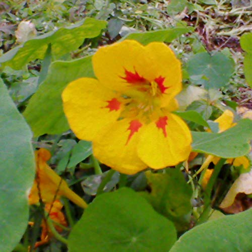 Graines de lotus sèches Capucine Balcon intérieur Graines de fleurs en pot Quatre saisons Graines de capucine jaune faciles à planter 500-excellent_Nasturtium Seeds Red 500 Capsules