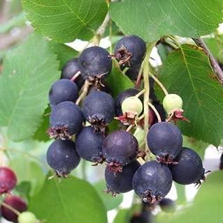 Saskatoon Serviceberry, Amelanchier alnifolia, 100 Seeds (Edible, Fall Color, Hardy)