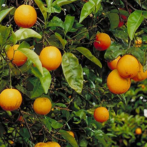 30 Unids/Bolsa Semillas De árboles De Naranja Plantas De Semillero De Plantas De Jardín Perennes Prolíficas Viables Para Semillas De Fácil Cultivo Al Aire Libre Naranja
