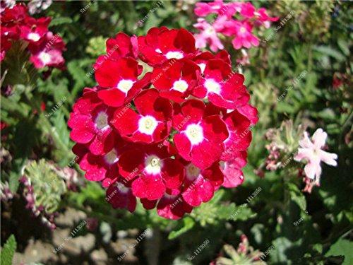 Verbena hybrida Graine verveine Hortensis Bonsai Flowr semences Balcon intérieur Plantes jardin Fleurs colorées Woodland 100 Pcs 8