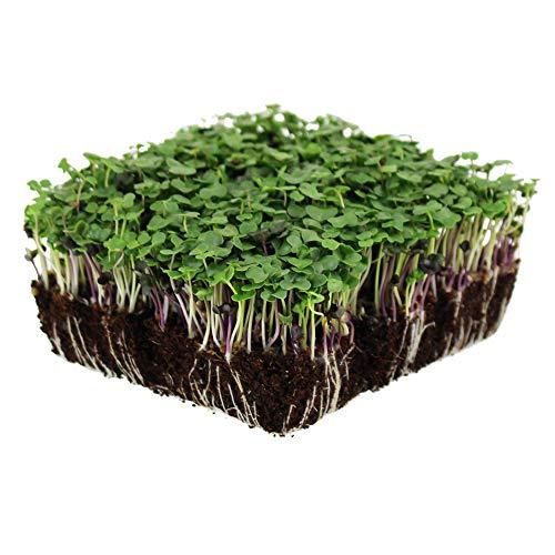 Basic Salad Mix Microgreens Seeds | Non-GMO Micro Green Seed Blend | Broccoli, Kale, Kohlrabi, Cabbage, Arugula, & More (1 Pound)