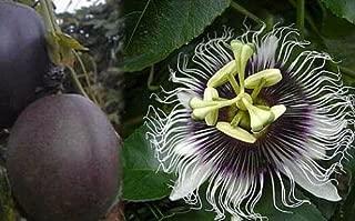 passiflora possum purple
