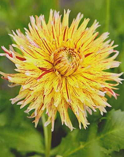 Kaktus Dahlien Großblütig Winesome Knolle Blumenzwiebel (1 Dahlie (Wurzelstock))