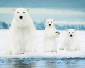 Polar Bears Family Animal Poster