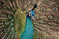 CYHHJDXCクロスステッチキット 孔雀 40×50cmDIY11CT刺繡工芸品スターターキット用マルチカラー針先パターン室内装飾(刻印入りキット)
