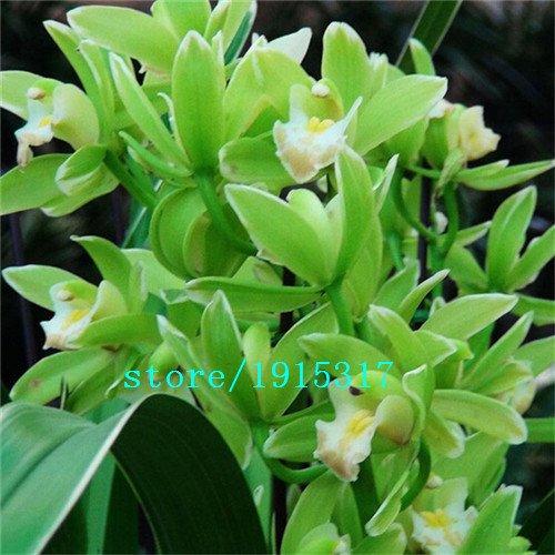 Graines Graines orchidées Phalaenopsis beau jardin Bonsai balcon fleur papillon graines d'orchidées SeedsAndPlants des plantes LivraisonGRATUITE