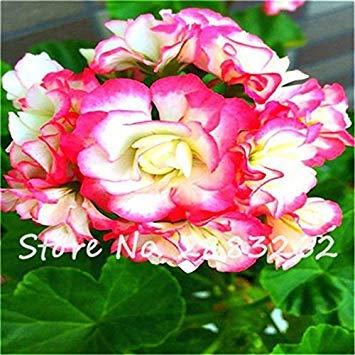 Vistaric Graines multicolores de bonsaïs de graines de géranium, 100 pcs/lot de graines de pélargonium pour la maison jardin Livraison gratuite