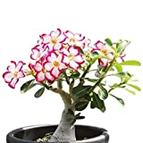 Colibyou Desert Rose, Adenium Obesum one Year Plant , Baby Size Bonsai Caudex from Lankui (1 Rose)