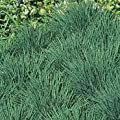 Outsidepride Blue Hair Grass Seeds