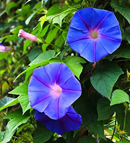 Semillas mixtas de Morning Morning Glory - Ipomea purpurea -