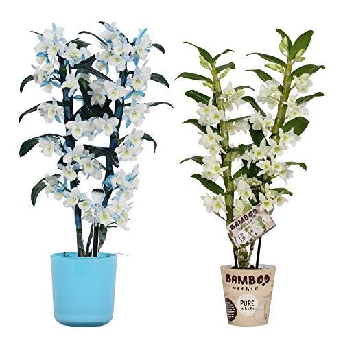 Orchideen von Botanicly – 2 × Bambus Orchidee – Höhe: 50 cm, 2 Triebe, lila-weiße Blüten – Dendrobium Nobilé
