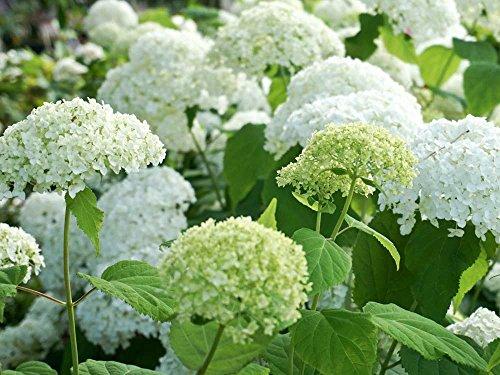 Ballhortensie weiße Blüte 'Annabelle' - Hydrangea arborescens Annabelle - Containerware, 40-60 cm - Garten von Ehren®