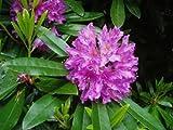 Rosebay Rhododendron, Rhododendron Maximum, 50 Samen