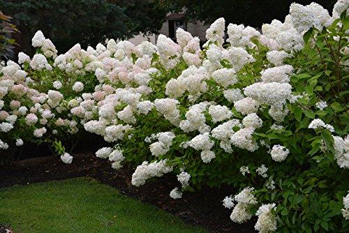 20 pcs blanc fraise graines de hortensias rares de graines de fleurs pour la plantation de vivaces maison en plein air intérieur bonsaïs etc facile à cultiver