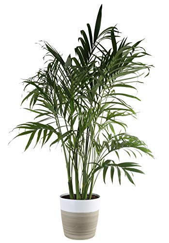 Costa Farms Cat Cataractarum Indoor Palm Tree Décor Planter, 3-Foot, White-Natural