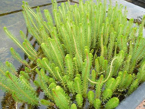 Wasserpflanzen Wolff - Myriophyllum crispata - Feines Tausendblatt - wasserreinigend!