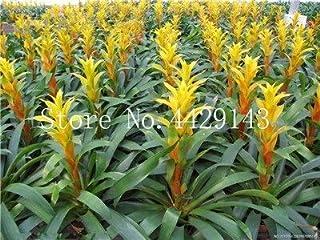 Genérico Fresco 50 piezas Bromelia Tillandsia Bulbosa planta SEMILLAS para Plantar amarillo 3