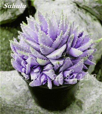 50 Pcs Aloe Vera Graines Beauté comestibles cosmétiques colorés Bonsai Cactus Succulentes Plantes Fleurs Légumes Fruits Graines Pour Balcon 1