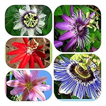 Potseed Germinación de Las Semillas: 20pcs de Flores de Plantas Raras Semillas de Passiflora pasionaria del árbol frutal de jardín