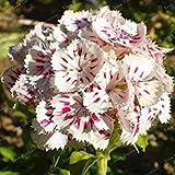 。色とりどりのカーネーション植物Barbatus工場花工場バルコニーの植物簡単には100個の成長に/バッグ:19