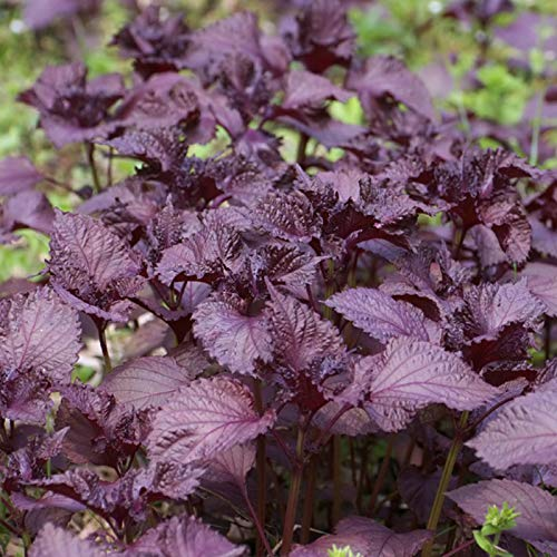 XQxiqi689sy 100Pcs / Bag Purple Perilla Seeds, Sin OMG, Color Brillante, Bajo Contenido De Carbohidratos, Son Semillas De Perilla De Alta Calidad Para El Jardín Semilla