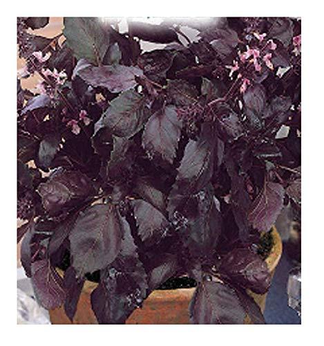 2000 C.ca Graines de basilic rouge opale noire - Ocymum basilicum - Dans l'emballage d'origine - Fabriqué en Italie - Basilic - BA006