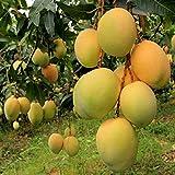 Siam Garden Ratnagiri Alphonso Mango Tree Hapus Live Grafted Plant In Polybag