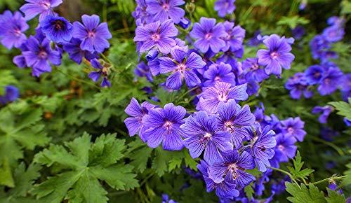 Bloom Green Co. 50 PC/Los Seltene lila...
