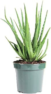 """AMERICAN PLANT EXCHANGE Aloe Hedgehog Live Plant, 6"""" Pot, Indoor/Outdoor Air Purifier"""