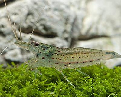 Garnelio - Amanogarnele - Caridina Japonica - 5er Gruppe