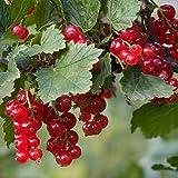 MOCRIS 100 stücke Samen Rote Johannisbeere Obst Hausgarten Obstgarten Pflanzen