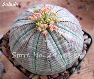 100 Pcs Lithops Graines Salon Ornements Graines de fleurs rares plantes succulentes bricolage Balcon et cour Plantation Facile à cultiver 19