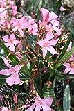 Nerium Oleander ROSA 60/80cm