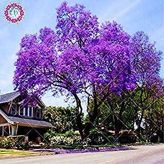 100pcs / bag semillas de paulownia, Semillas Real emperatriz árbol Paulownia tomentosa) (ourdoor, plantas de semillas de f...
