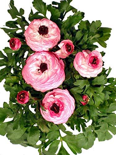 Ranunkel pink-weiß - Wundervolle rosenartige Blüten
